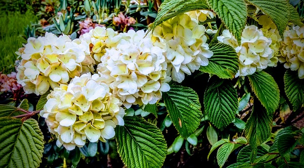 English Hydrangea